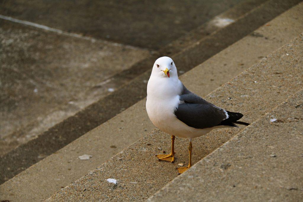 立ってこっちを見る鳩